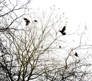 Crows and tree Stock Photography