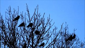 Crows in tree against blue sky. Crows in leafless tree against blue sky flying away stock video
