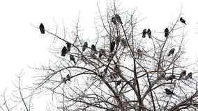 Crows on the tree stock footage