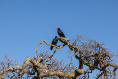 Crows on tree branch Stock Image