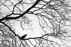 Crows  on tree branches. Black and white Stock Images