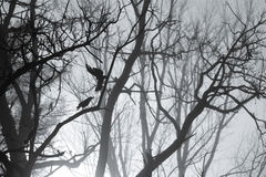 Crows and tree branches silhouette in foggy morning Royalty Free Stock Photo