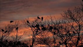 Crows on tree at sunset. Halloween stock video
