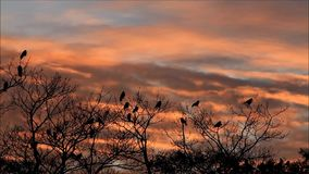 Crows in tree at sunset, halloween. Time lapse stock footage