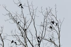 Crows on tree top branch. With gloomy grey sky royalty free stock images