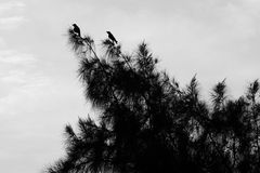 Crows on a tree. Two crows on a tree in black and white Royalty Free Stock Photography