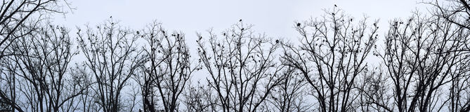 Crows on trees Royalty Free Stock Photography