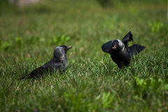Crows. Two crows on the green grass divide food Stock Images