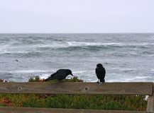 Crows. Two crows over a fence on a windy and cloudy day. Dark blue stormy sea on the back. The picture was taken in Monterey, California royalty free stock photos