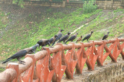 Crows at vastrapur lake. Crows in action at vastrapur lake stock photos