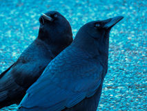 Crows, Wondering Royalty Free Stock Image