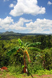 Croydon种植园,牙买加 库存照片