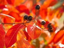 Crêpe le Myrte dans l'automne Images libres de droits