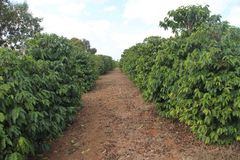 Coffee plantation Highway Agnésio Carvalho de Souza MG-335 Minas Gerais Brazil royalty free stock photo