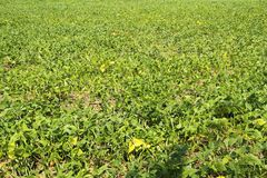 Beans field agriculture plantation food leaf detail Sao Paulo Brazil stock photos