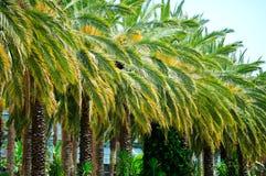 cru des arbres de vert de paume Photo stock