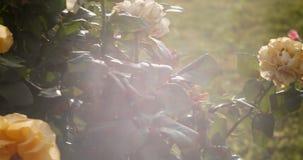 Cru regardant la longueur des roses dans le jardin éclairé à contre-jour avec des fusées et des fuites légères banque de vidéos