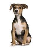 Cruce con un Gato Russell y un perrito del pincher fotografía de archivo