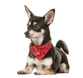 Cruce el perro con el pañuelo que mira lejos, aislado en blanco Imagen de archivo libre de regalías