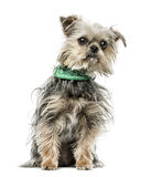 Cruce el perro con sentarse del pañuelo, aislado en blanco Fotografía de archivo