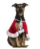 Cruce el perro que lleva un cabo de la Navidad, sentada, aislada imagenes de archivo