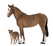 Cruce el perro que se coloca al lado de un andaluz femenino, 3 años, también conocidos como el caballo español puro o PRE Fotografía de archivo