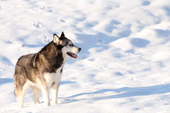 Cruce Huskey Malamut en un campo de la nieve Fotografía de archivo libre de regalías