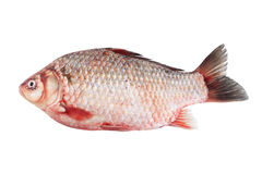 crucian的鲤鱼 免版税库存图片