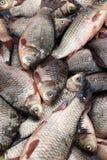 Crucian, świeży fish-3 Obrazy Royalty Free