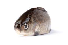 crucian рыбы Стоковая Фотография RF