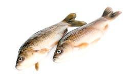 crucian рыбы Стоковые Фотографии RF