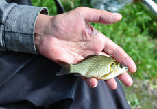 Crucian. Carp in the hand of a fisherman. Catch of fish stock photography