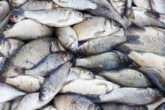Crucian Royalty Free Stock Image