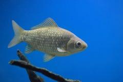 crucian的鲤鱼 免版税图库摄影