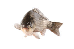 Crucian carp. A freshwater aquaculture carp with white background Royalty Free Stock Photography