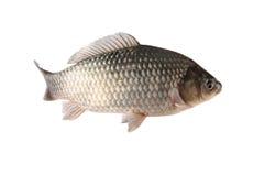 Crucian carp. A freshwater crucian carp with white background Stock Photos