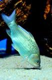 Crucian carp. Eating in a fishtank royalty free stock photo