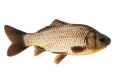Crucian carp Stock Photo
