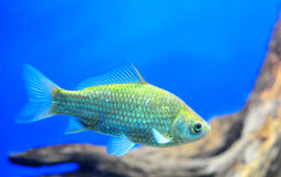 Crucian carp. Swimming in a aquarium - copy space Stock Image