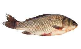 Crucian carp Stock Photography