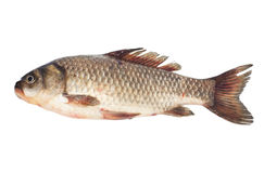 Crucian carp Royalty Free Stock Photo