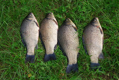 The Crucian Carp (Carassius carassius) Royalty Free Stock Photography