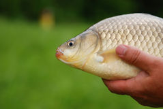 The Crucian Carp (Carassius carassius) Stock Images