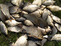 Crucian carp fish. Lots of Crucian carp freshwater course fish on grass Royalty Free Stock Photo