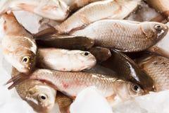 Crucian carp fish on ice as background Royalty Free Stock Image