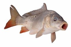 Crucian carp fish isolate Stock Image