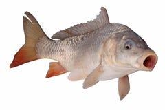 Crucian carp fish isolate. Crucian carp fish on a white background stock image