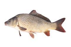 Crucian carp fish isolate. Crucian carp fish on a white background royalty free stock image