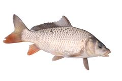 Crucian carp fish isolate. Crucian carp fish with opened mouth isolate stock photo