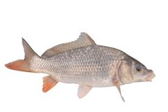 Crucian carp fish isolate Royalty Free Stock Image